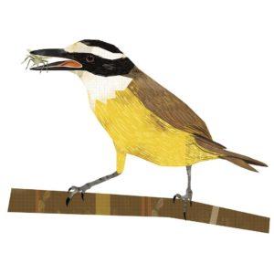 Mariela Califano benteveo. Aves de Buenos Aires