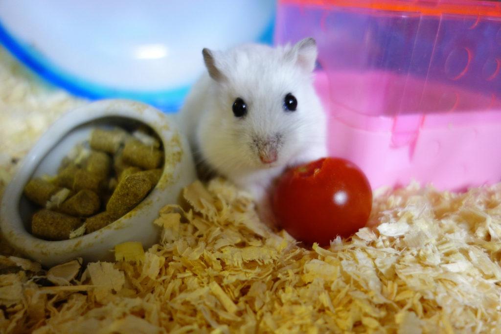 foto hamster invierno mascota